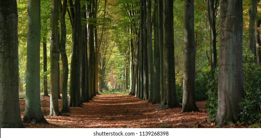 forest path with big trees in early autumn