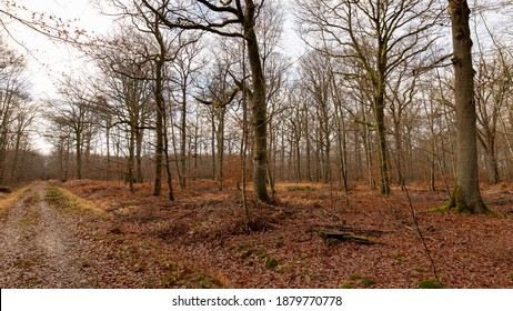 Forest path covered with fallen autumn leaves. Trees, oaks, hornbeams, beeches and bare birches during the winter. Trunks and branches without leave. Wild forest of France. Cloudy sky, December light