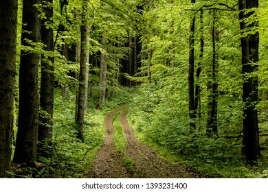 Forest path with green trees in early summer