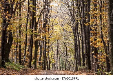 Forest path, surrounded by broad leaved trees in their yellow fall autumn colors, in the Fruska Gora Woods, a park in Voivodina, in Serbia.   - Shutterstock ID 1768018991