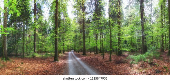 Forest path through a beech forest with fresh green leaves in spring.