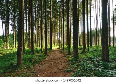 Forest path through a light-flooded forest, on both sides with dense green vegetation
