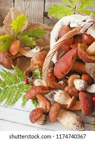 Forest picking mushrooms Boletus  in wickered basket. Autumn Cep Mushrooms. . Cooking delicious organic mushroom. Gourmet food