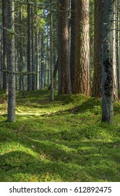 A forest with pine and fir trees covered with thick moss