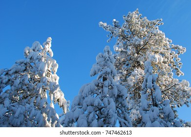 Forest pine tree tops covered in snow against a rich blue sunny sky