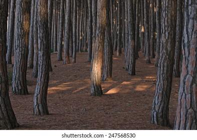 Forest of pine trees along tuscany coast