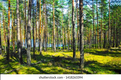 Forest pine trees background view. Pine tree forest. Pine trees background. Pine trees forrest background