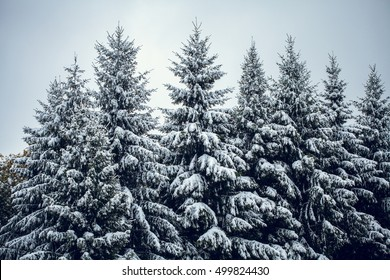 forest with pine trees covered snow in Siberian autumn