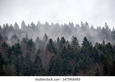 Forest of pine trees in the fog