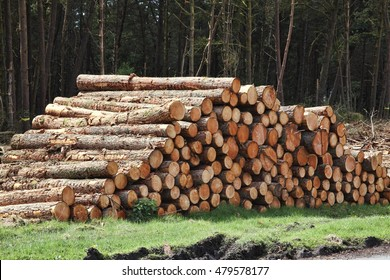 Forest pine trees log trunks felled by the logging timber industry
