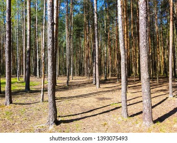 Forest pine trees shadows background. Pine tree forest shadows in spring. Spring pine tree forrest shadows view. Pine tree forest background