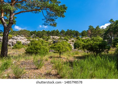Forest of pine trees in spring