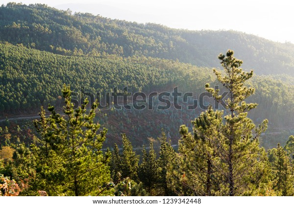 Forest of pines and eucalyptus in Galicia (Spain)
