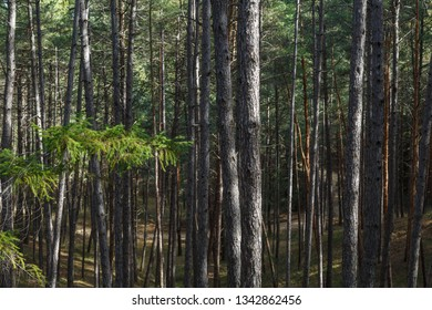 Forest of pines and firs. Pinus sylvestris. Pseudotsuga menziesii.