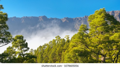 Forest with pines Pinus canariensis in Caldera of Taburiente, La Palma, Canary Islands