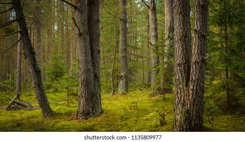 forest pines in summer