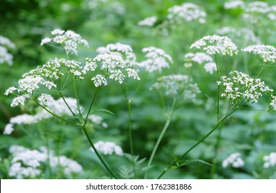 Forest plant queen anne's lace (Chaerophýllum) in the forest, macro photo, selective focus.