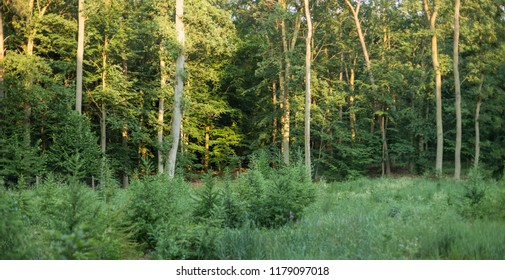 forest plantation with European larch seedlings. Young European larch on a plantation. Young European larch trees planted in forest felling