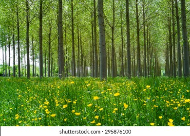 Forest of Poplars in the countryside of Angers, France