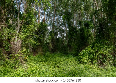 Forest of poplars covered climbing shrubs of clematis vitalba. Oíd maid's beard, traveller's joy. Populus. Bernesga River, Leon, Spain.