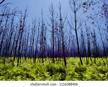 forest in Portugal after the fires. Fire. Forest burned