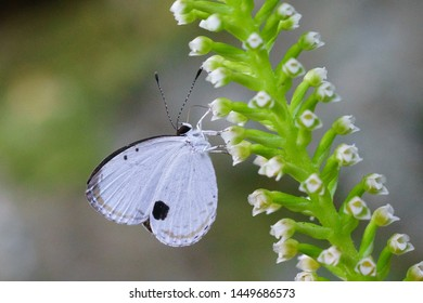 Forest Quaker (Pithecops corvus). Lycaenid, blue butterfly, insect. Feeding on nectar of small white orchid flower (Goodyera procera). Plant.