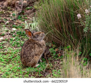 Forest rabbit eats grass, tapeti, Cotopaxi, Ecuador