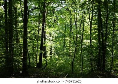 Forest. Rakhiv district. Transcarpathia