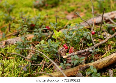 forest red berries
