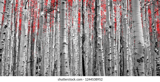 Forest of Red Trees in black and white panoramic landscape background