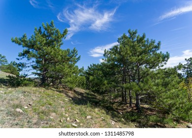 Forest of relict pines on the mountainside. Crimea, Tokluk mountain range, sunny day in September.