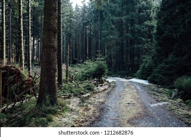The forest road leads through the autumn pine forest