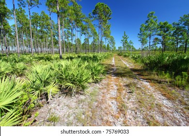 Forest Road runs through the pine flatwoods of central Florida on a sunny day.