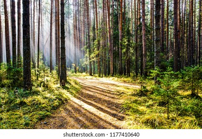 Forest road sunlight landscape. Sunlight forest road scene. Forest road sunlight view