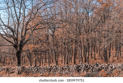 FOREST OF ROBLES IN AUTUMN, IN THE REAL DE SAN VICENTE, TOLEDO, SPAIN