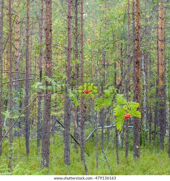 Forest Rowan