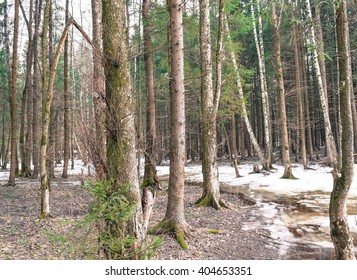 Forest of Russia