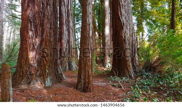 Forest scene with large pine trees, Otago, New Zealand