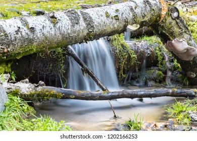 forest scene of the stream and fallen silver birch