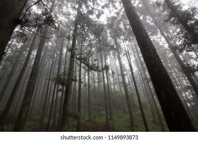 Forest Scenery of Mount Lu, Lushan in Jiujiang City, Jiangxi Province China. Dense forest with heavy mist and fog in the background, Lushan UNESCO Global Geopark, World Heritage site.