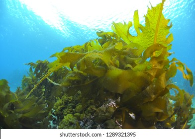 Forest of Seaweed