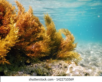 Forest of Seaweed, Seaweed Underwater, Seaweed Shallow Water near surface