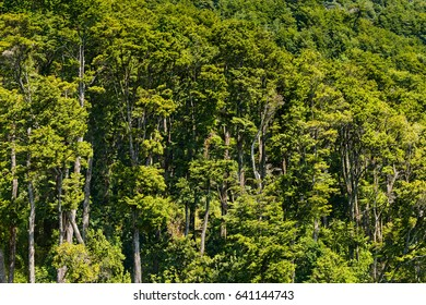 A forest in the shores of Lake Todos Los Santos, Southern Chile