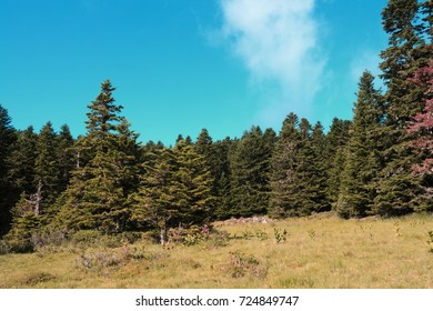 Forest of silver fir tree in Pyrenees, Aude in south of France,  Abies alba