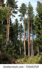 Forest of silver fir tree in Pyrenees, Abies alba