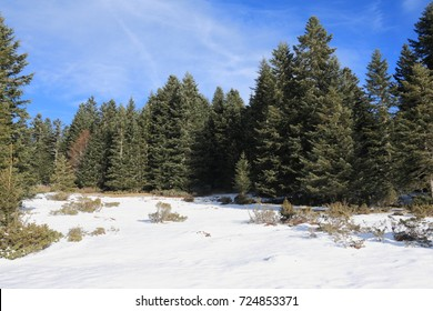 Forest of silver fir tree in winter, Pyrenees, Aude in south of France,  Abies alba