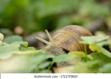 Forest snail background. A snail in the woods after rain.