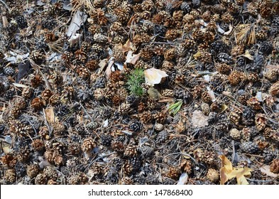 In the forest soil under pine trees covered with fallen pine cones, seeds of which give green shoots. / Forest floor.