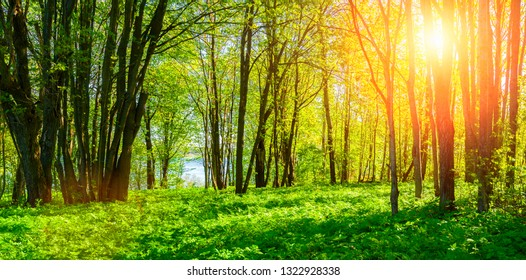 Forest spring landscape - forest trees with grass on the foreground and sunlight shining through the trees. Sunny colorful forest spring nature