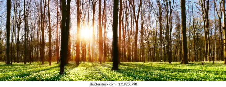 Forest in spring with lots of little white flowers and a und bright sun shining through the trees
